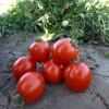 помидор асвон f1 фото описание