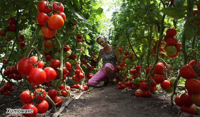 Как вырастить розовые томаты